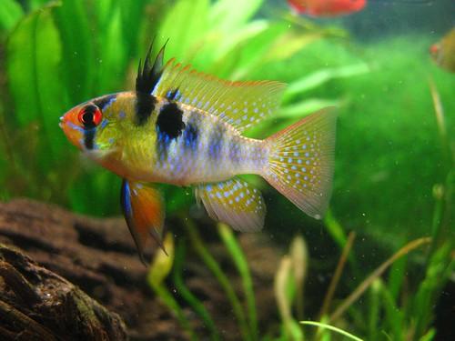 Animal world of water german blue ram cichlid for German ram fish