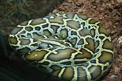 eastern diamondback rattlesnake(0.0), hognose snake(0.0), sidewinder(0.0), kingsnake(0.0), wildlife(0.0), animal(1.0), serpent(1.0), snake(1.0), boa constrictor(1.0), reptile(1.0), fauna(1.0), scaled reptile(1.0),