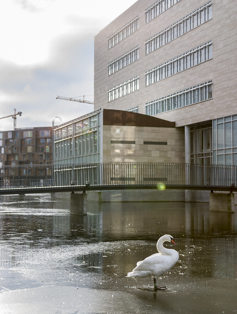 Amager Swan
