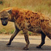 Spotted Hyena - Photo (c) Arno Meintjes, some rights reserved (CC BY-NC)
