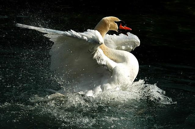 Swan the Tzar
