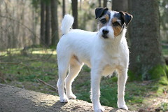 dog breed, animal, danish swedish farmdog, dog, brazilian terrier, parson russell terrier, russell terrier, carnivoran, jack russell terrier, terrier,