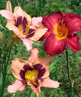 Daylilies Three