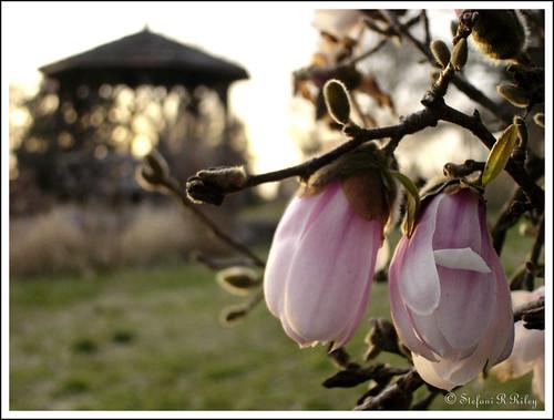 pink flowers winter sunset macro ilovenature petals spring dof blossoms gazebo richmond va buds blooms maymont falsespring cotcmostinteresting thecontinuum ymiweek21winner shutterbugsthemewinner