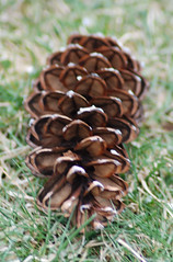 flower, pine, leaf, brown, plant, close-up, conifer cone, fir,
