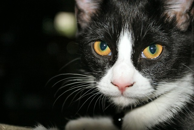 Milo Black and White Cat