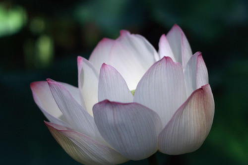 Water Lily - Lotus Flower