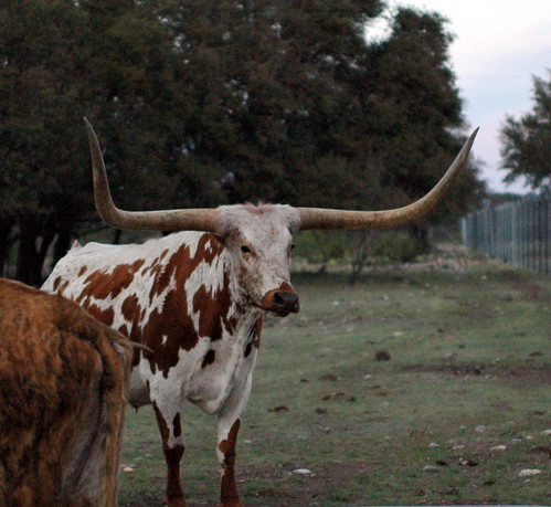 texas cattle horns longhorn steer texaslonghorn abigfave hwy377 rockspringstx