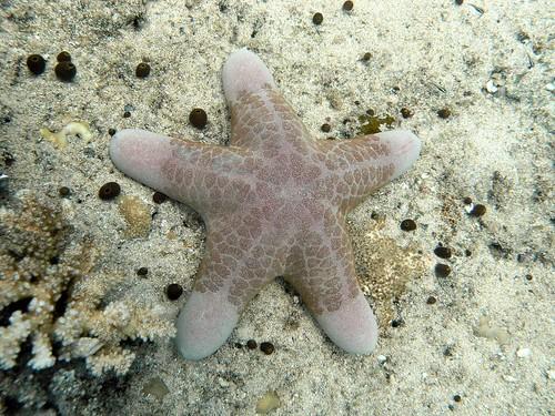 Starfish - Choriaster granulatus - PC162377