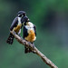Black Thighed Falconet - Worlds smallest raptor by Paul Williams www.IronAmmonitePhotography.com