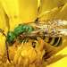 Metallic Green Bees - Photo (c) Evan Leeson, some rights reserved (CC BY-NC-SA)