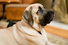 dog breed, animal, dog, puggle, pet, mammal, guard dog, bullmastiff, boerboel,