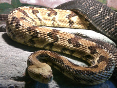 animal, serpent, snake, boa constrictor, reptile, hognose snake, fauna, scaled reptile,