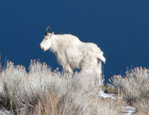 mountain-goat-close