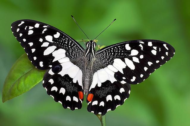 Lime Butterfly - open ...