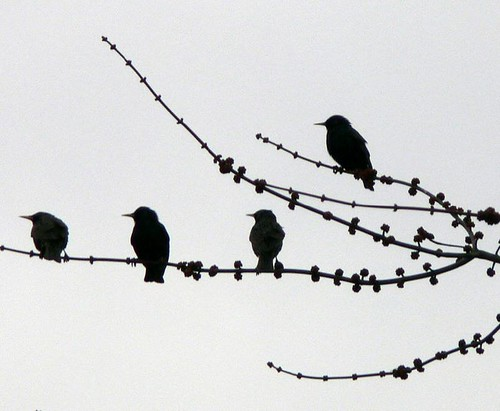 FBI: SILHOUETTE OF FOUR EUROPEAN STARLINGS