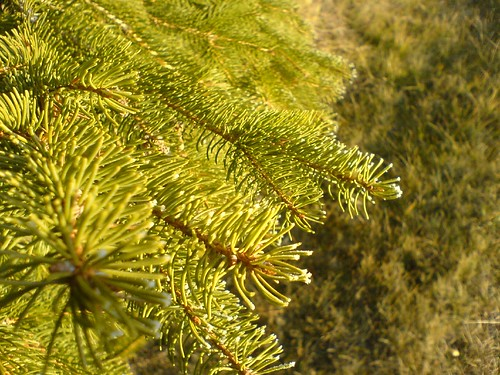 Tannenbaum mit Eisspitzen