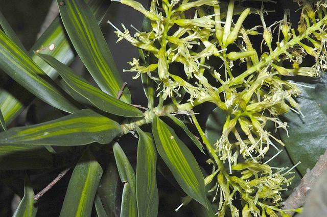 龙血树属 斑叶百合竹