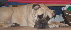 dog breed, animal, dog, pet, olde english bulldogge, carnivoran, bullmastiff, boerboel,