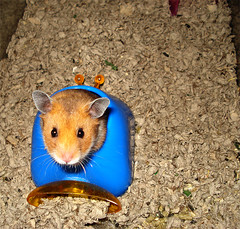 animal, rat, rodent, pet, mouse, hamster, fauna, whiskers, gerbil,