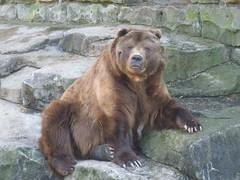 american black bear(0.0), animal(1.0), zoo(1.0), mammal(1.0), grizzly bear(1.0), fauna(1.0), brown bear(1.0), bear(1.0), wildlife(1.0),