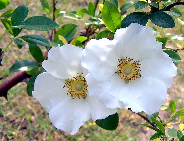 Cherokee rose georgia state flower georgia state flower for Cherokee rose