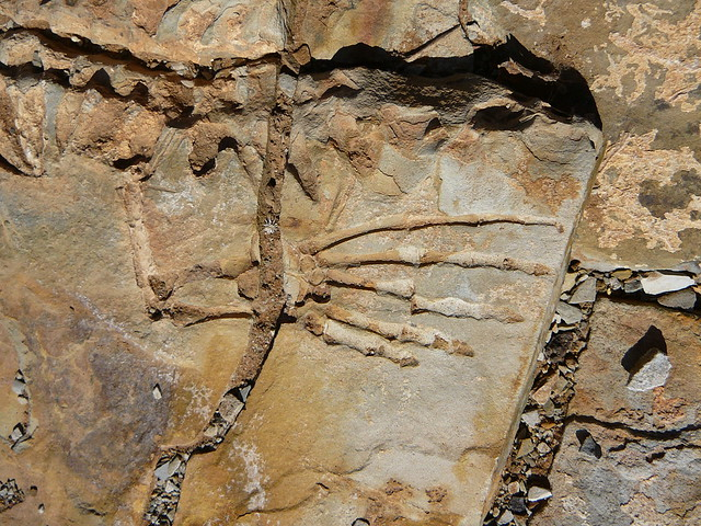Mesosaurus fossil | Flickr - Photo Sharing!