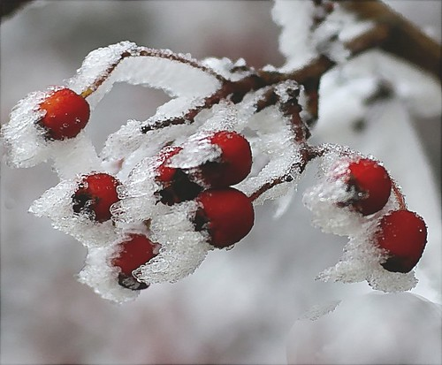 Frozen berries for the birds at Christmas.