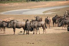 adventure(0.0), water buffalo(0.0), antelope(0.0), gemsbok(0.0), grazing(0.0), mustang horse(0.0), elk(0.0), safari(0.0), cattle-like mammal(1.0), animal(1.0), wildebeest(1.0), plain(1.0), mammal(1.0), horn(1.0), herd(1.0), fauna(1.0), savanna(1.0), wildlife(1.0),