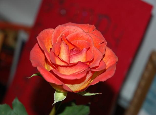 Birthday Red (Rose)