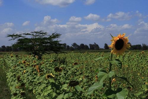 africa kenya nairobi sunflower acacia canonef2470mmf28lusm simpsonsclouds kigwa