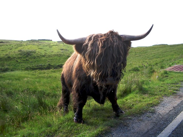 Skye island highlands cow | Flickr - Photo Sharing!