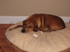 animal, hound, dog, pet, mammal, scent hound,