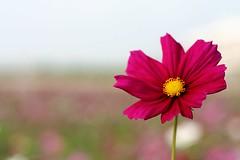 blossom(0.0), plant(0.0), flower(1.0), garden cosmos(1.0), yellow(1.0), macro photography(1.0), flora(1.0), close-up(1.0), plant stem(1.0), cosmos(1.0), pink(1.0), petal(1.0),