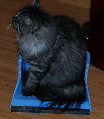 domestic long-haired cat, animal, maine coon, fur, small to medium-sized cats, pet, mammal, black cat, cat, whiskers, nebelung, norwegian forest cat,