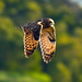 Short-eared Owl (Asio flammeus) by Jerry Ting