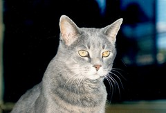 chartreux(0.0), korat(0.0), russian blue(0.0), animal(1.0), small to medium-sized cats(1.0), pet(1.0), mammal(1.0), burmilla(1.0), european shorthair(1.0), fauna(1.0), egyptian mau(1.0), cat(1.0), whiskers(1.0), domestic short-haired cat(1.0),