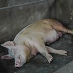 Sleeping Pig - Mekong Delta, Vietnam