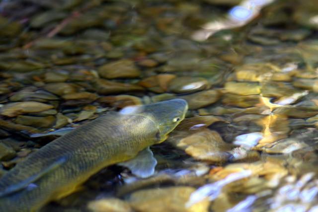 Sucker fish catostomidae flickr photo sharing for Freshwater sucker fish