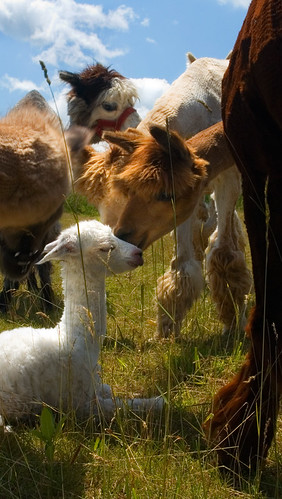 blue baby white ontario green alpaca nature beauty grass sunshine animal azul clouds landscape ilovenature nikon day birth d70s twistedbydesign patrick patryk adamczyk sunny valley bushes herd mansfield cria polanaranch nikonstunninggallery