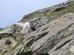 mountain, mammal, goats, geology, fauna, mountain goat, terrain, wilderness, badlands, rock, wildlife, mountainous landforms,
