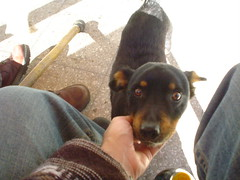 dog breed, animal, dog, german pinscher, manchester terrier, dobermann, pet, mammal, miniature pinscher, pinscher, toy manchester terrier,