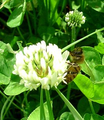 clover(0.0), nectar(0.0), wildflower(0.0), trifolieae(1.0), flower(1.0), plant(1.0), invertebrate(1.0), membrane-winged insect(1.0), herb(1.0), bee(1.0),