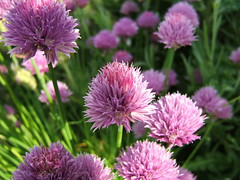 vegetable(0.0), thistle(0.0), bee balm(0.0), food(0.0), silybum(0.0), annual plant(1.0), flower(1.0), plant(1.0), flora(1.0), produce(1.0), chives(1.0), petal(1.0),