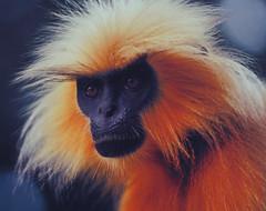 mandrill(0.0), whiskers(0.0), macaque(0.0), beak(0.0), nose(1.0), animal(1.0), monkey(1.0), mammal(1.0), langur(1.0), fauna(1.0), close-up(1.0), old world monkey(1.0), wildlife(1.0),