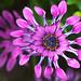 sunscape daisy by algo