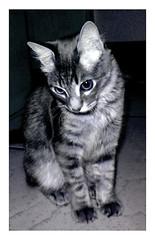 animal, kitten, small to medium-sized cats, pet, mammal, european shorthair, american shorthair, cat, manx, domestic short-haired cat,