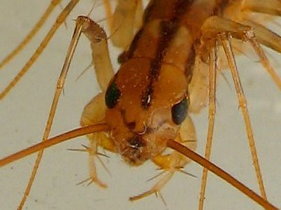 House Centipede closeup