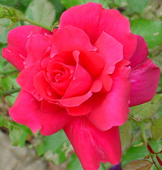 shrub(0.0), rosa gallica(0.0), annual plant(1.0), garden roses(1.0), rosa 㗠centifolia(1.0), floribunda(1.0), flower(1.0), plant(1.0), rosa chinensis(1.0), petal(1.0),