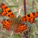 Comma, Sheringham (Norfolk), 26-Sep-04
